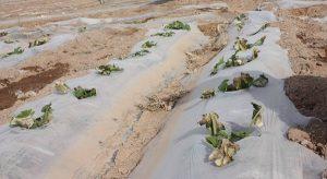 پلاستیک زیست تخریب پذیر در کشاورزی